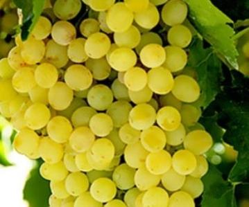Bosman Adama raisin grapes