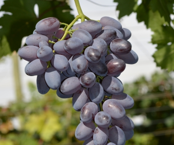 Bosman Adama table grapes