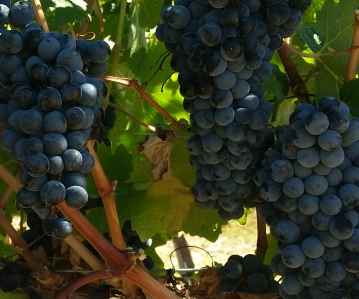 Bosman Adama wine grapes