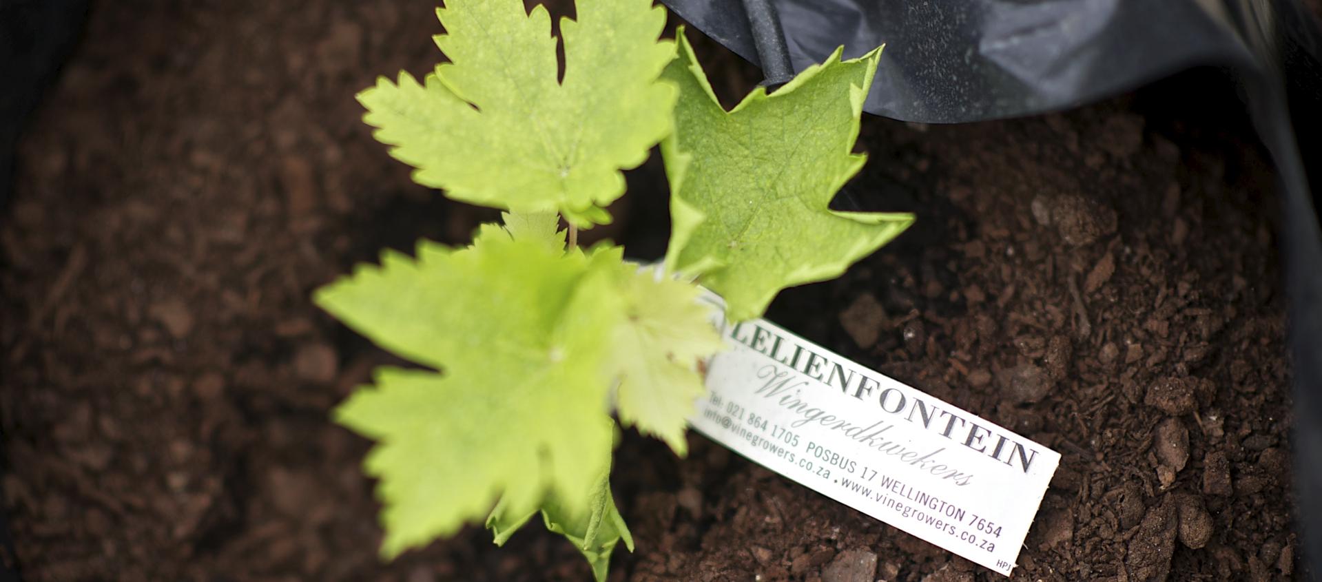 Lelienfontein plantverbetering