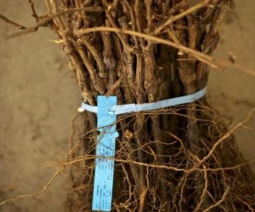 Lelienfontein geëente stokkies